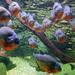 Csapatban – vörös hasú piranha