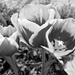 Tulipán feketén-fehéren