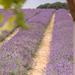 Levendula farm