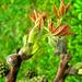 dióvirág