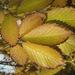 csillogó levelek