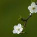 White flowers by Garuna bor-bor