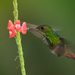 Rufous-tailed-Hummingbird26