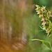 Széleslevelű nőszőfű