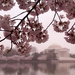 washington cherry blossoms jefferson memorial 13306 600x450