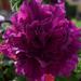 Virágaim 5
