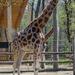 Zsiráf szegedi vadaspark