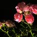 Rózsa(szín)