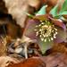 Album - 2015 ben megtalált hazai védett növények fotói