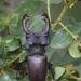 Nagy szarvasbogár