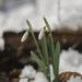 Kikeleti hóvirágok