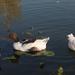 A tó 037
