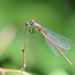Pyrrhosoma nymphula,Vörös légivadász