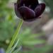 Fekete tuli