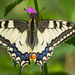 Fecskefarkú lepke (Papilio machaon)