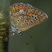 Közönséges boglárka (Polyommatus icarus)