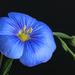 Hegyi len (Linum austriacum)