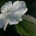 Fehér mécsvirág (Melandrium album)