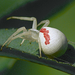 Fehér karolópók (Thomisus onustus)