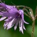 Havasi harangrojt (Soldanella alpina)