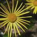 Keleti zergevirág (Doronicum orientale)