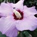 Hangyás mályvavirág