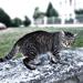 Macska a kőkerítésen
