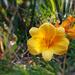 A sásliliom (Hemerocallis) az őszi napsütésben