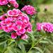 Törökszegfű (Dianthus barbatus) free