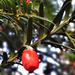 Tiszafa bogyók a novemberi napsütésben