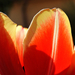 Tulipán Szirmok Tél