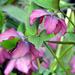 Tavasz Virág Hunyor (Helleborus)