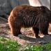 Keresgélve / A barna medve (Ursus arctos)