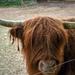 Keresd a szemét! Skót felföldi szarvasmarha