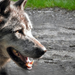 Vacsorára várva/ A farkas (Canis lupus)