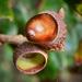 Tölgyfa termése Makk