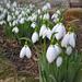 Kibújtunk! A hóvirág (Galanthus)