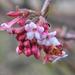 Téli bangita (Viburnum tinus)