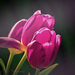 Tulipánok Virág Tavasz