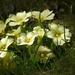 A vad kankalin (Primula)