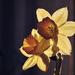 Nárcisz a szobában (Narcissus)