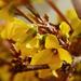 Az aranyfa vagy aranycserje (Forsythia)