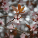 Vadszilvafa Virág Tavasz