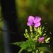 A kerti holdviola (Lunaria annua)
