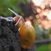Kerti csiga (Cepaea hortensis)