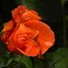 Naracssárga rózsa