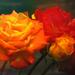 Naracssárga piros rózsa