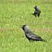 A csóka (Corvus monedula)