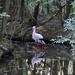 A fehér gólya (Ciconia ciconia)