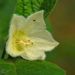 Lampionvirág virága